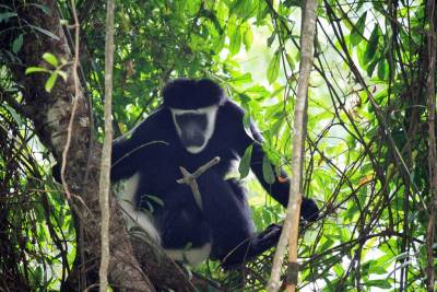 Arusha Safari, Colobus Monkey
