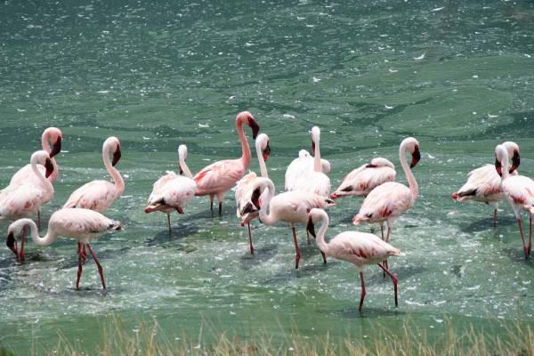 Arusha Safari, Momella Lakes, Lesser Flamingos