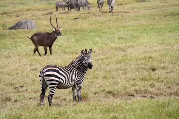 Arusha Safari, Zebra