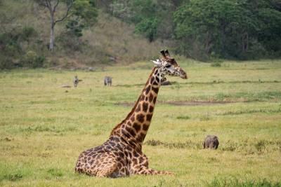 Giraffe, Arusha National Park