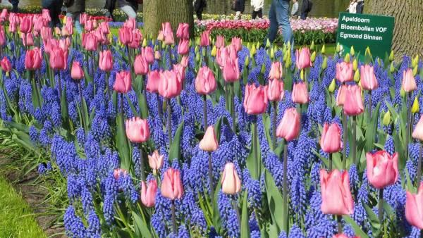 Amsterdam Layover, Keukenhof Gardens, Tulip Display