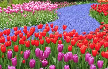 Amsterdam Layover, Keukenhof Gardens Tulips