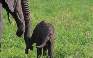 Baby Elephant Forced Get Up and Walk, Tarangire Safari