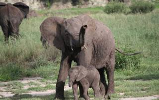 Baby Elephant, Tarangire Safari