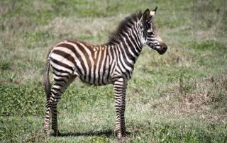 Baby Zebra, Ngorongoro Crater Safari, Tanzania