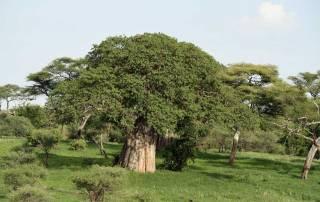 Baobab Tree, Tarangire, Safari