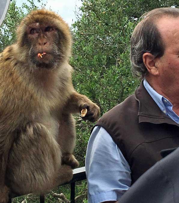 Barbary Macaque, Gibraltar Tour