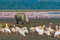 Black Rhino, Flamingos, Pelicans, Lake Nakuru Safari