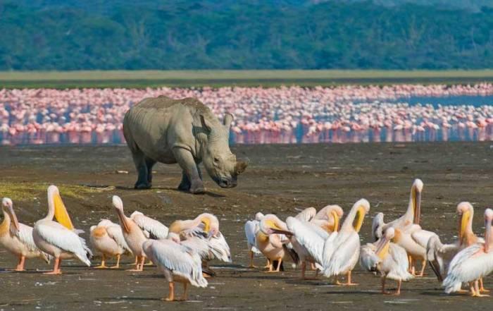 Black Rhino, Flamingos, Pelicans, Lake Nakuru Safari