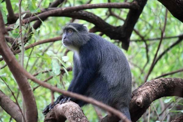 Blue Monkey, Lake Manyara Safari, Tanzania