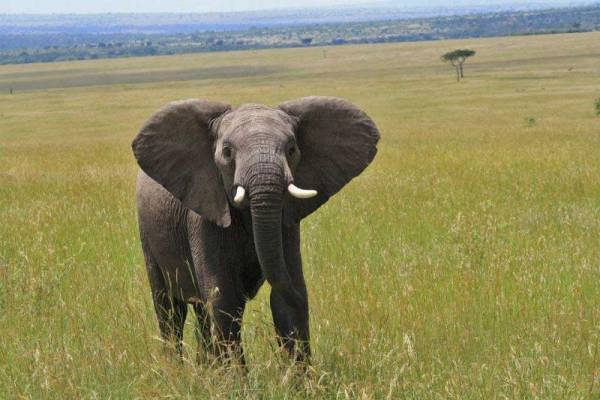 Elephant, Maasai Mara Safari
