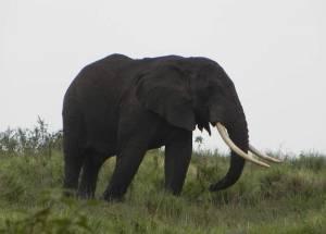 Elephant with Gigantic Tusks, Ngorongoro Crater Rim, Tanzania