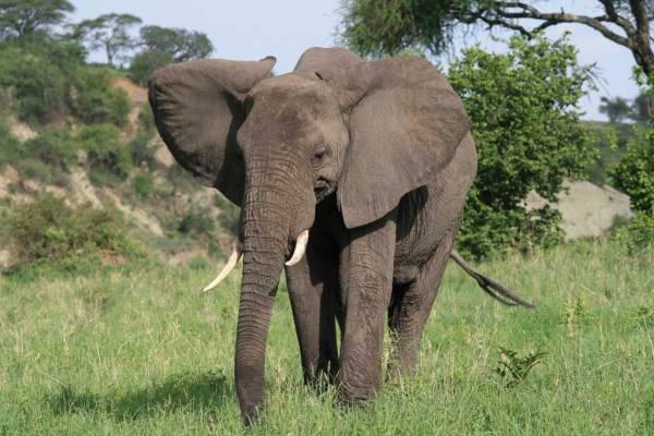 Elephant, Tarangire Safari