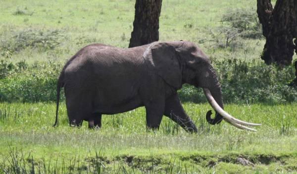 Enormous Elephant Tusks, Ngorongoro Crater Safari