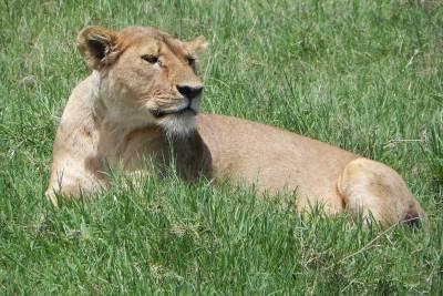 Female Lion, Ngorongoro Crater Safari, Tanzania