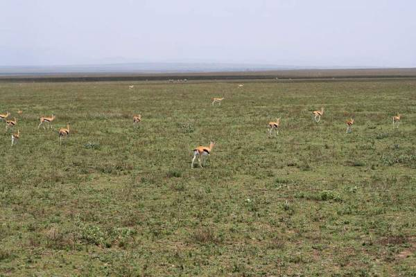 Gazelles, Ngorongoro Conservation Area, Tanzania