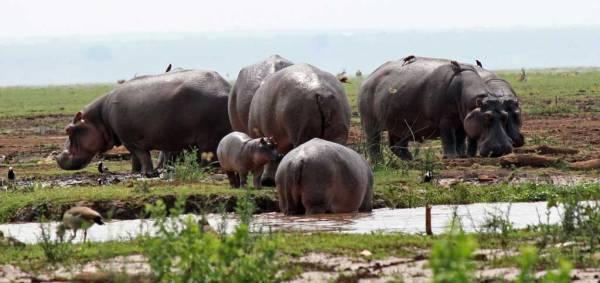 Hippo Pool, Lake Manyara Safari, Tanzania