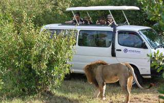 Lion Approaching Vehicle, Maasai Mara Safari