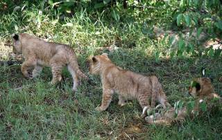Lion Cubs, Maasai Mara Safari