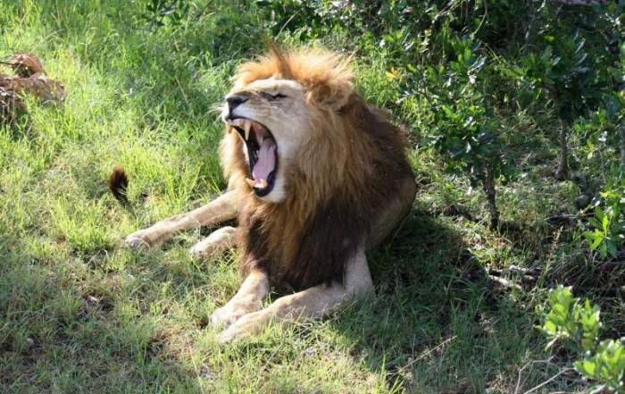 Lion, Maasai Mara Safari