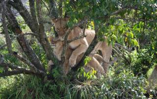 Lion and Cub Resting in Tree Branches, Maasai Mara Safari