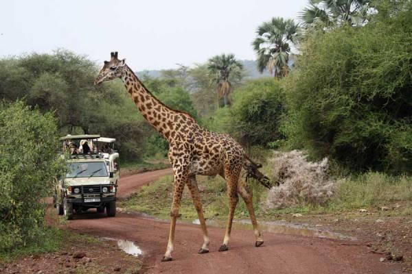 Maasai Giraffe, Lake Manyara, Tanzania