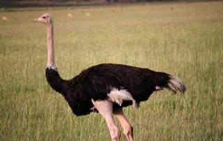 Ostrich, Maasai Mara Safari