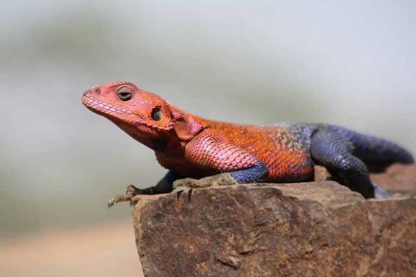 Agama Lizard, Spiderman, Serengeti Safari
