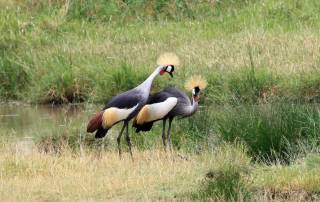 Crested Cranes, Serengeti Safari