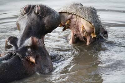 Serengeti Safari, Hippo Pool, Tanzania