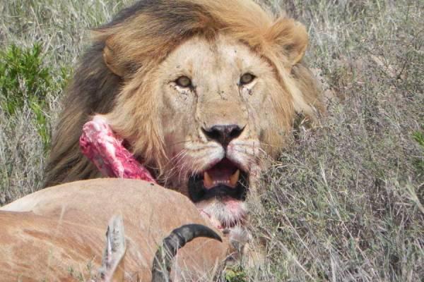 Serengeti Safari, Lion with Hartebeest Kill