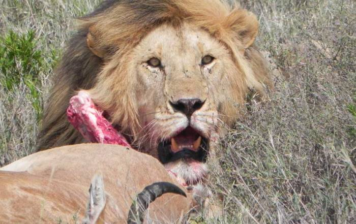 Serengeti Safari, Lion with Hartebeest Kill