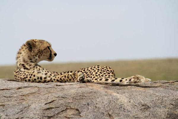 Serengeti Safari, Cheetah, Tanzania