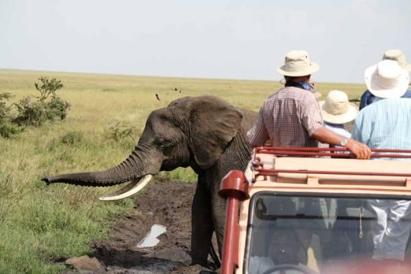 Serengeti Safari, Elephant
