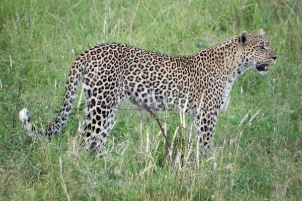Serengeti Safari, Leopard