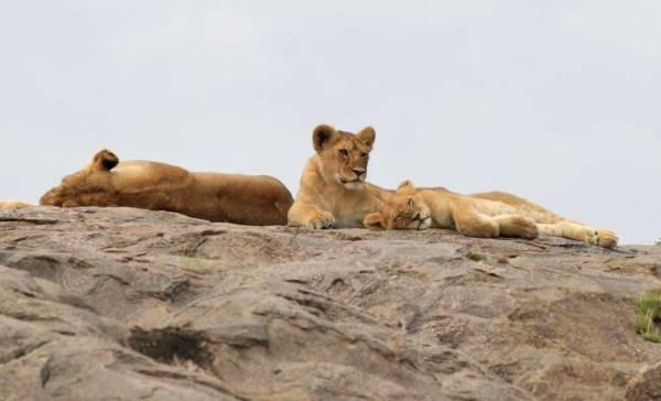 Serengeti Safari, Lion Pride on Kopje