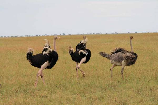 Serengeti Safari, Ostriches Mating, Tanzania