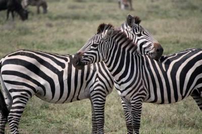 Serengeti Safari, Zebras, Tanzania