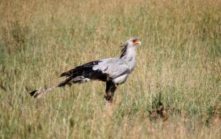 Secretary Bird, Serengeti Safari, Tanzania