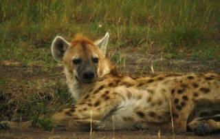 Spotted Hyena, Maasai Mara Safari