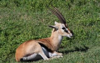 Newborn Thompson's Gazelle, Ngorongoro Crater
