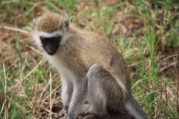 Vervet or Black Faced Monkey, Lake Manyara Safari