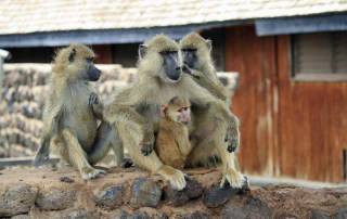 Yellow Baboons, Amboseli Safari