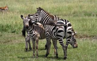 Zebras, Maasai Mara Safari