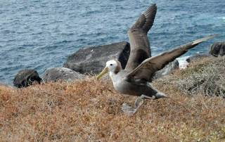 Albatross Learning to Fly, Espanola Island, Visit the Galápagos