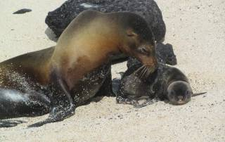 Baby Sea Lion, Mann Beach, San Cristobal Island, Visit the Galápagos