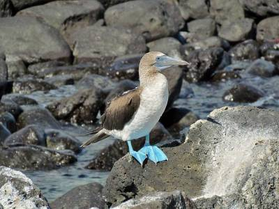 Blue Footed Booby, Isla Lobos, San Cristobal Island, Visit the Galápagos