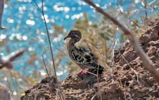 Dove, Rabida Island, Visit the Galápagos