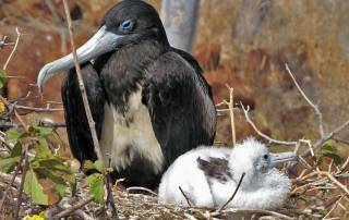 Female Frigate Bird with Young, North Seymour Island, Visit the Galápagos