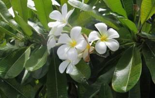 Five Petal Gardenia, Fakarava